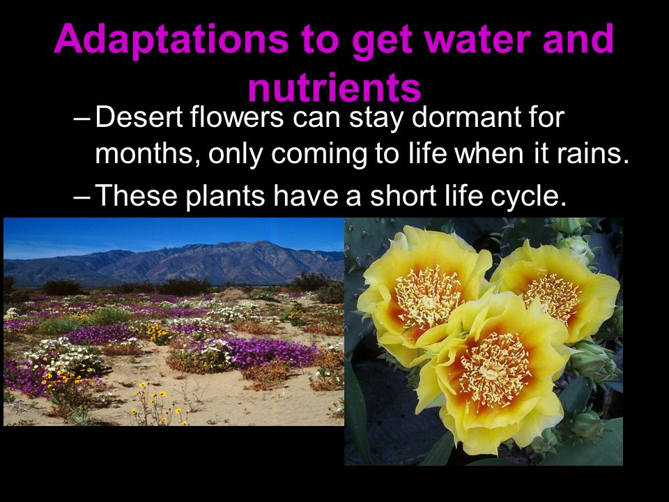 Adaptations to get water and nutrients –Desert flowers can stay dormant for months, only coming to life when it rains. –These plants have a short life