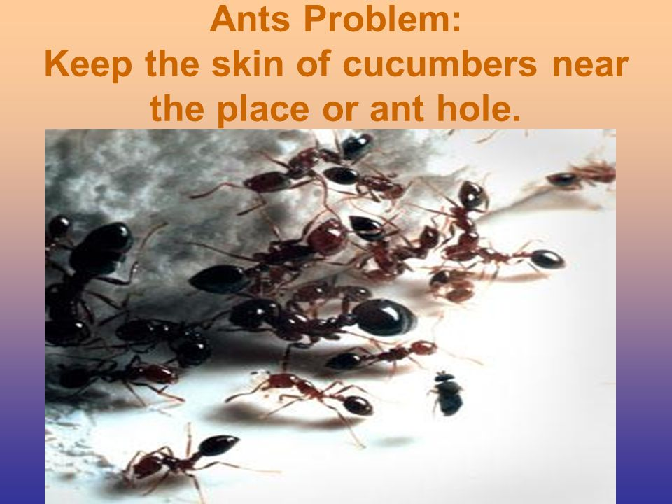 Ants Problem: Keep the skin of cucumbers near the place or ant hole.