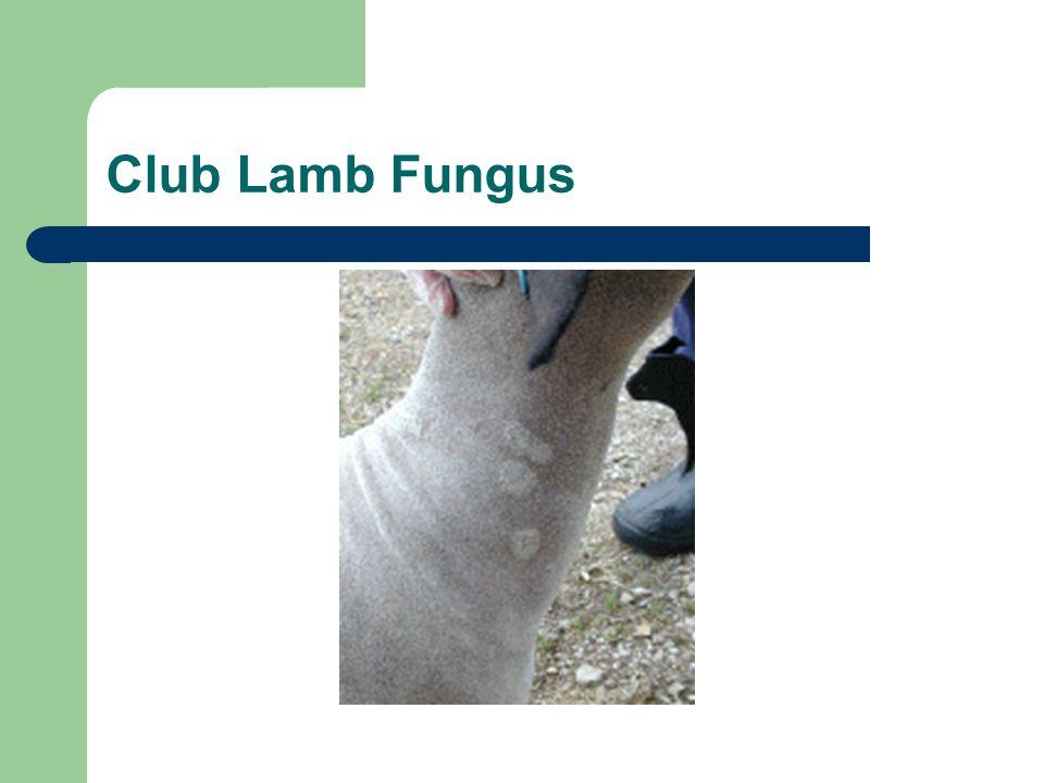 Club Lamb Fungus