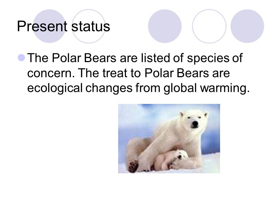 Present status The Polar Bears are listed of species of concern. The treat to Polar Bears are ecological changes from global warming.