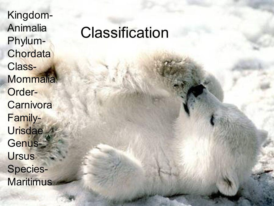 Classification Kingdom- Animalia Phylum- Chordata Class-Mommalia Order-Carnivora Family- Urisdae Genus-Ursus Species-Maritimus Kingdom- Animalia Phylu