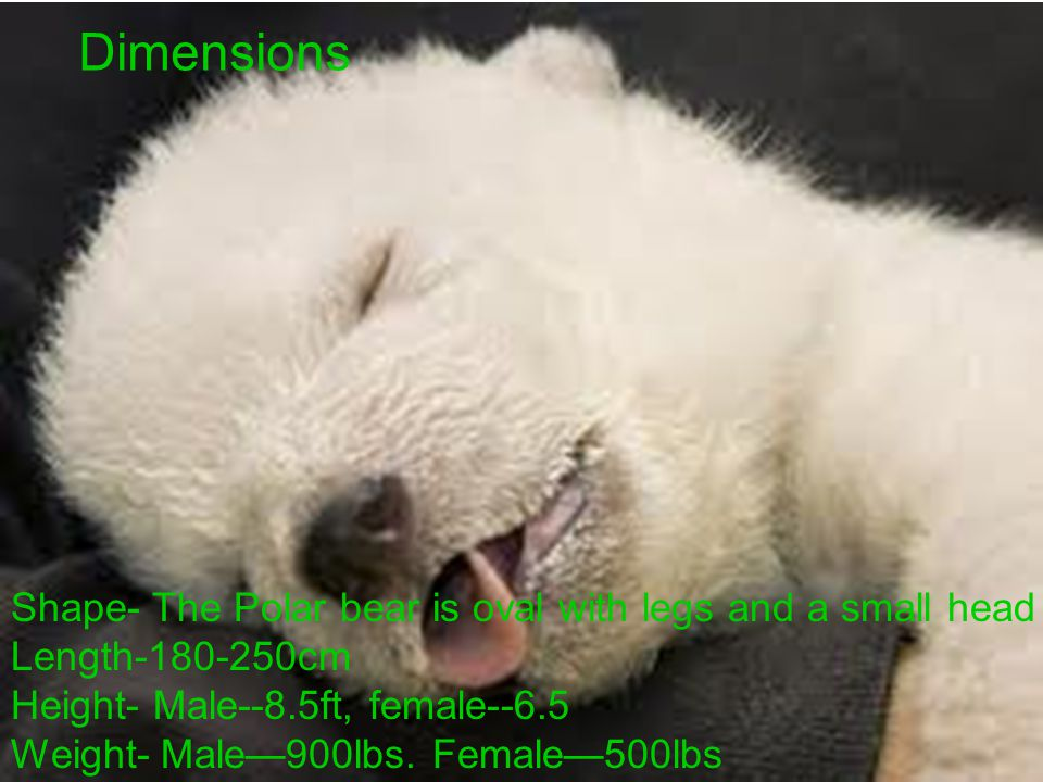 Dimensions Shape- The Polar bear is oval with legs and a small head Length-180-250cm Height- Male--8.5ft, female--6.5 Weight- Male—900lbs. Female—500l