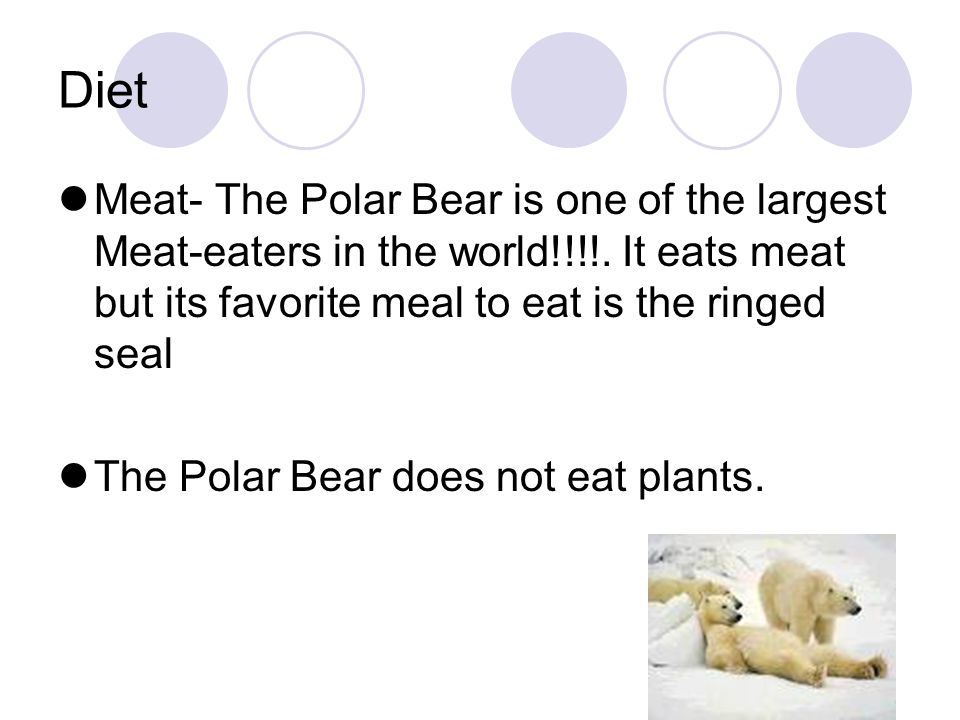 Diet Meat- The Polar Bear is one of the largest Meat-eaters in the world!!!!. It eats meat but its favorite meal to eat is the ringed seal The Polar B