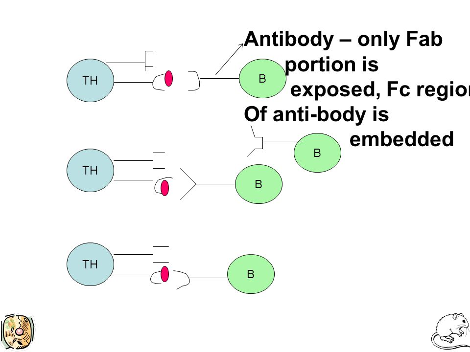 TH B B B B Antibody – only Fab portion is exposed, Fc region Of anti-body is embedded