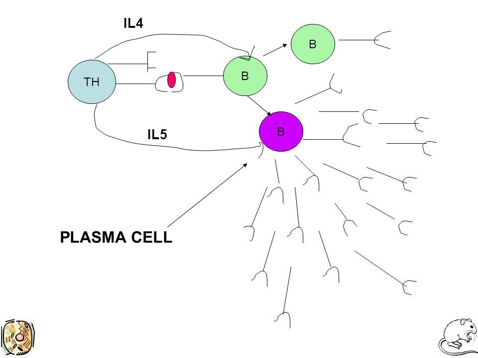 TH B IL4 B B IL5 PLASMA CELL