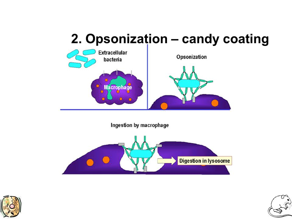 2. Opsonization – candy coating