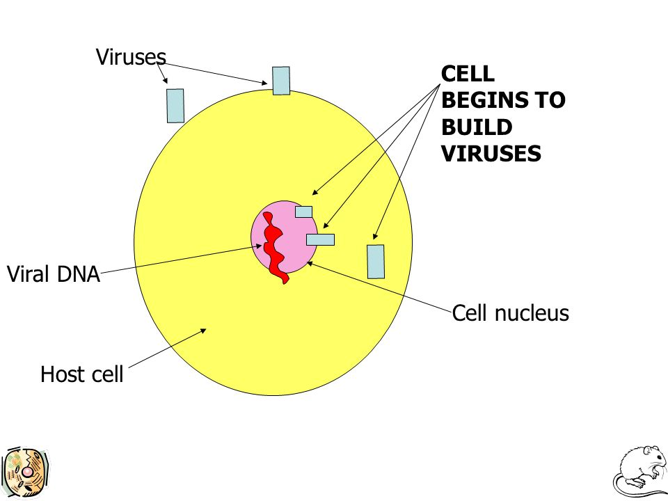 Viruses CELL BEGINS TO BUILD VIRUSES Cell nucleus Host cell Viral DNA