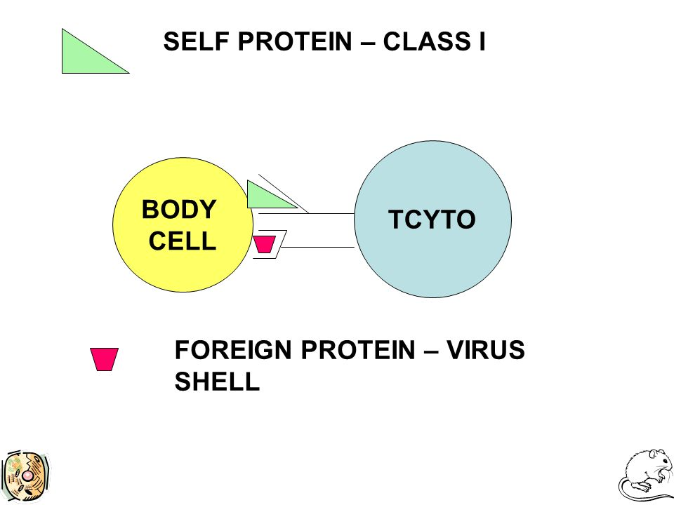 TCYTO BODY CELL SELF PROTEIN – CLASS I FOREIGN PROTEIN – VIRUS SHELL