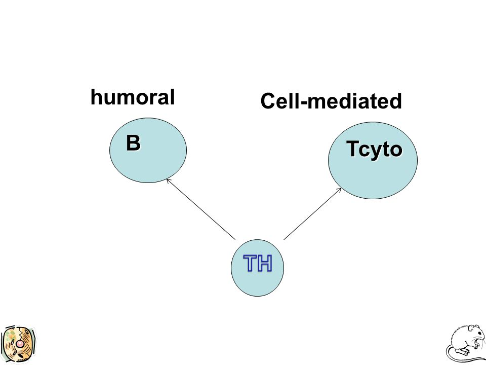B Tcyto humoral Cell-mediated