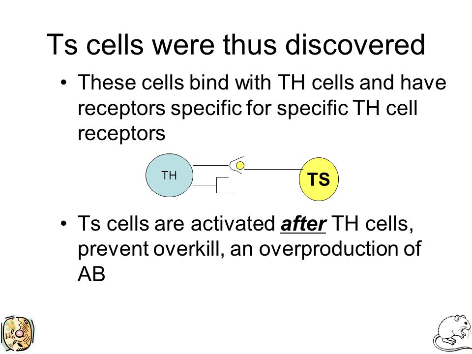 Ts cells were thus discovered These cells bind with TH cells and have receptors specific for specific TH cell receptors Ts cells are activated after TH cells, prevent overkill, an overproduction of AB TH TS