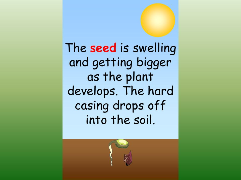 The seed is swelling and getting bigger as the plant develops.