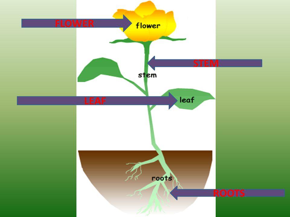 FLOWER LEAF STEM ROOTS