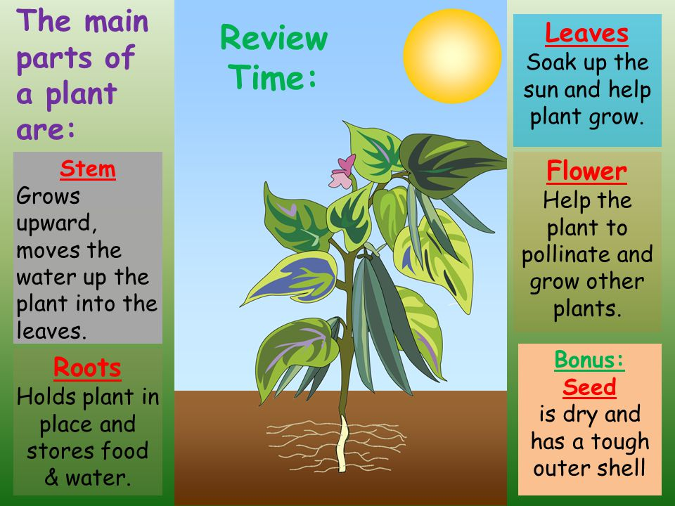 Review Time: Flower Help the plant to pollinate and grow other plants. Leaves Soak up the sun and help plant grow. The main parts of a plant are: Bonu