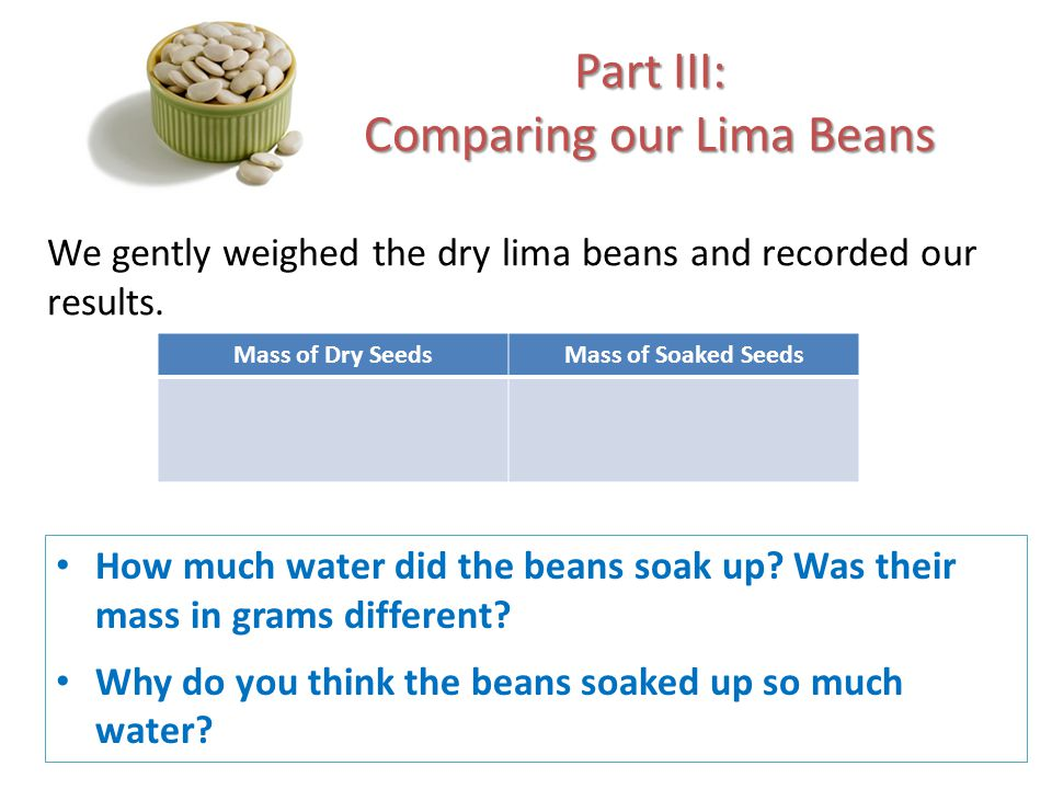 Part III: Comparing our Lima Beans We gently weighed the dry lima beans and recorded our results. How much water did the beans soak up? Was their mass