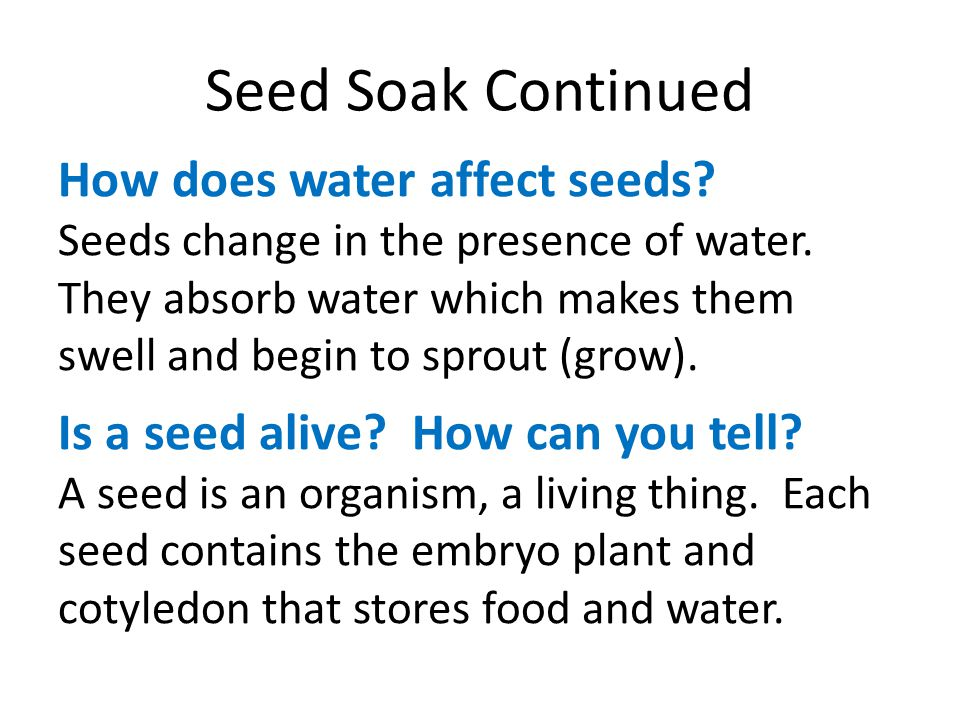 Seed Soak Continued How does water affect seeds? Seeds change in the presence of water. They absorb water which makes them swell and begin to sprout (