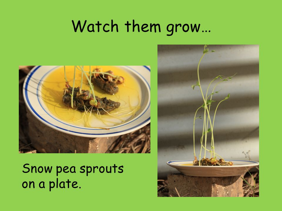 Watch them grow… Snow pea sprouts on a plate.
