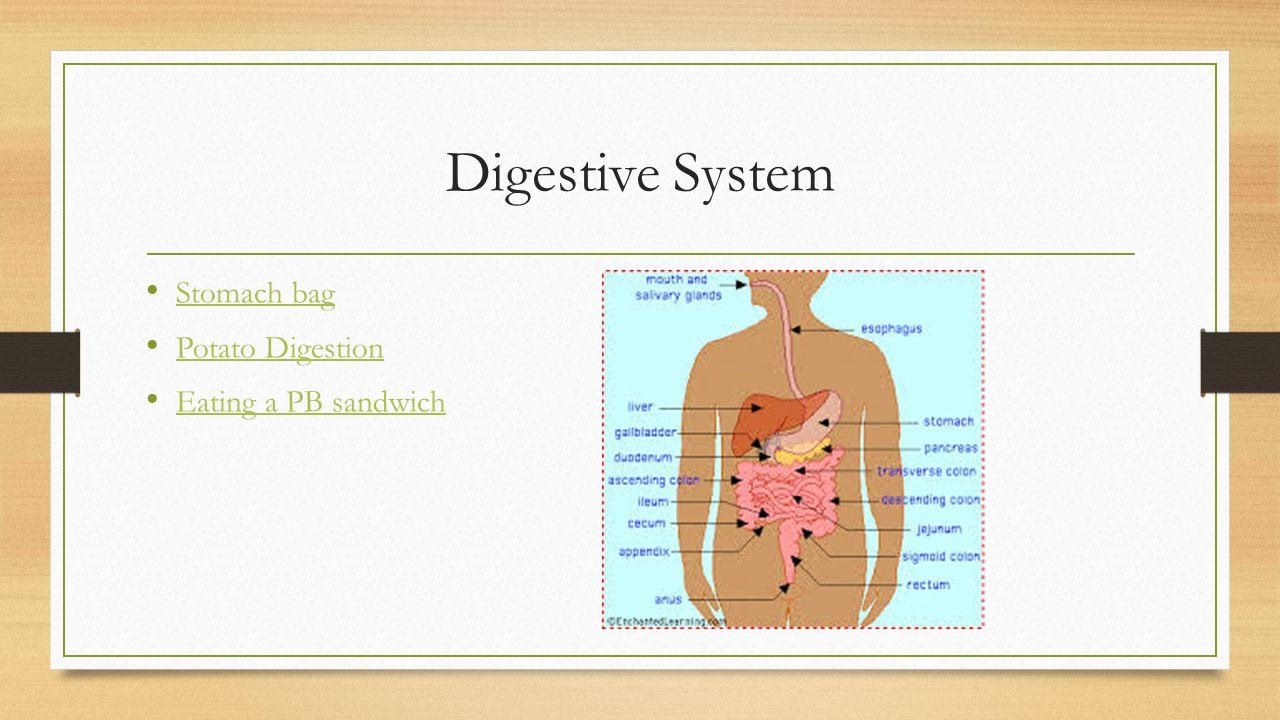Digestive System Stomach bag Potato Digestion Eating a PB sandwich