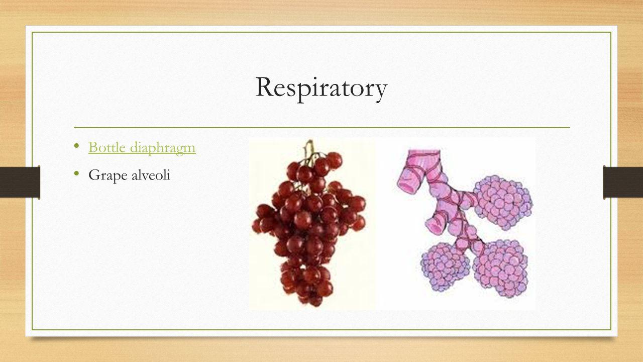 Respiratory Bottle diaphragm Grape alveoli