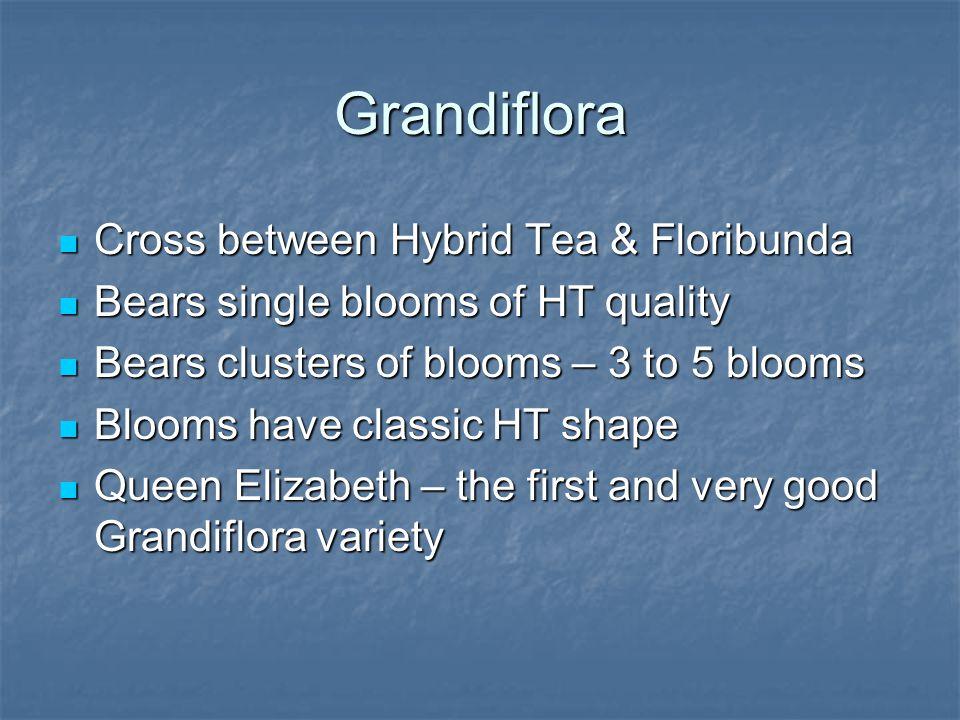 Grandiflora Cross between Hybrid Tea & Floribunda Cross between Hybrid Tea & Floribunda Bears single blooms of HT quality Bears single blooms of HT qu