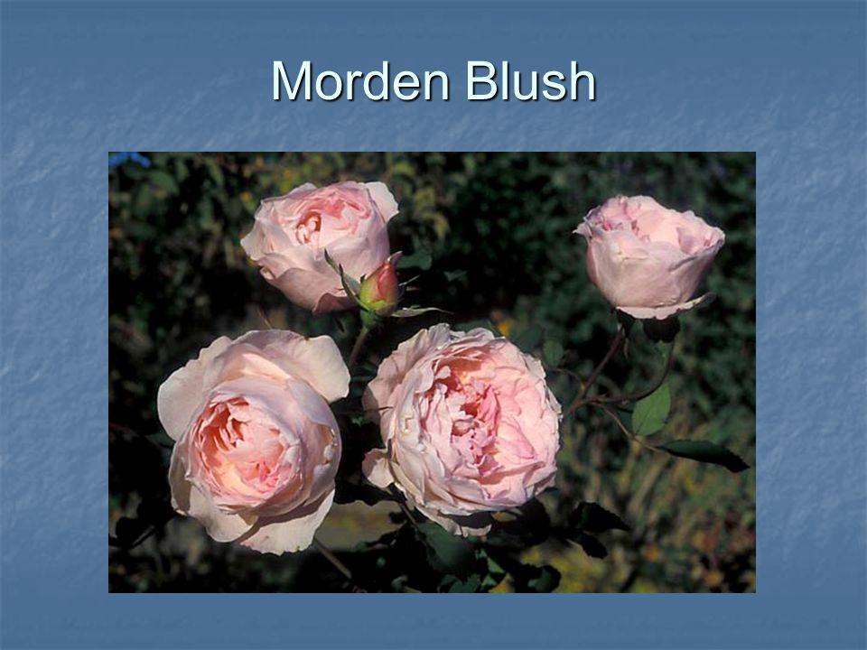 Morden Blush