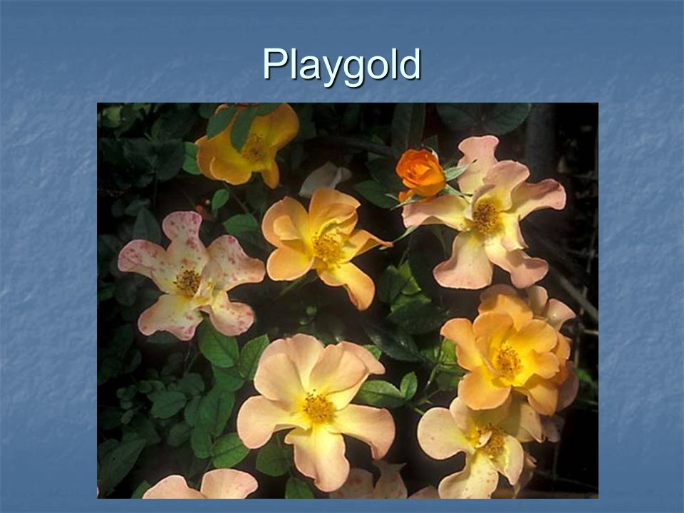 Playgold
