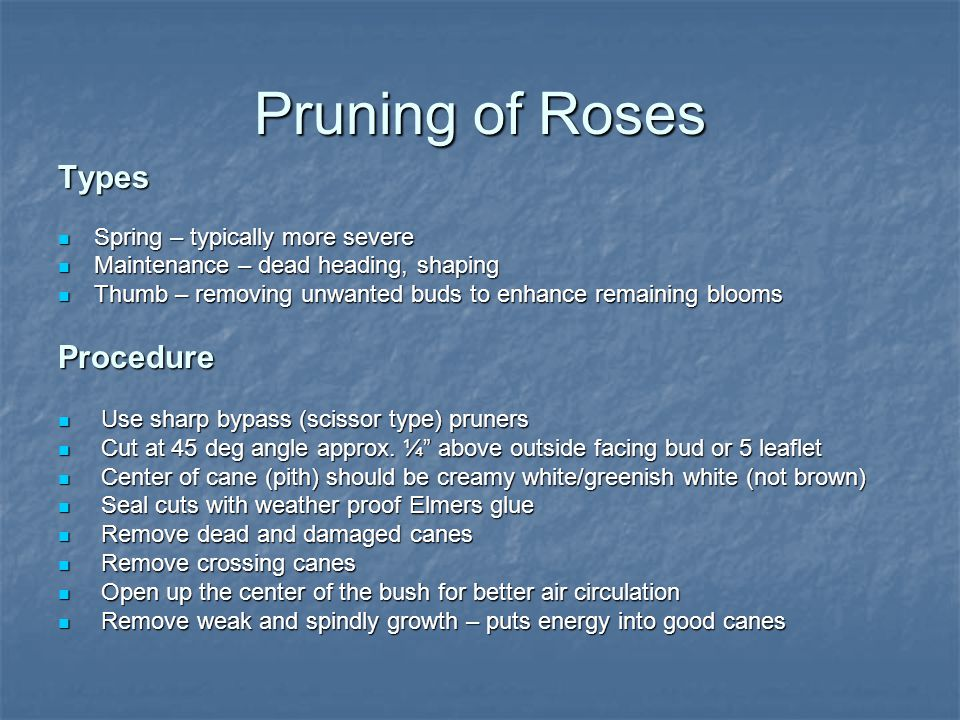 Pruning of Roses Types Spring – typically more severe Spring – typically more severe Maintenance – dead heading, shaping Maintenance – dead heading, shaping Thumb – removing unwanted buds to enhance remaining blooms Thumb – removing unwanted buds to enhance remaining bloomsProcedure Use sharp bypass (scissor type) pruners Use sharp bypass (scissor type) pruners Cut at 45 deg angle approx.