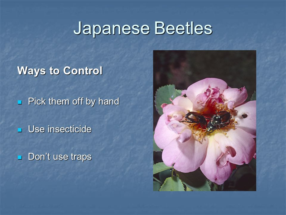 Japanese Beetles Ways to Control Pick them off by hand Pick them off by hand Use insecticide Use insecticide Don't use traps Don't use traps