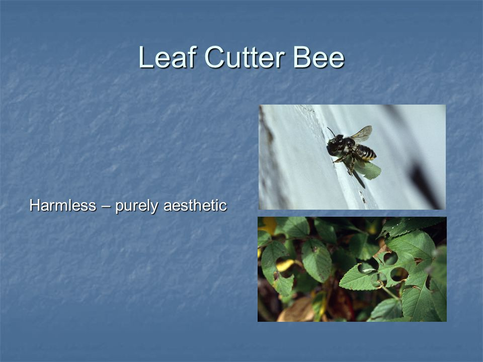 Leaf Cutter Bee Harmless – purely aesthetic