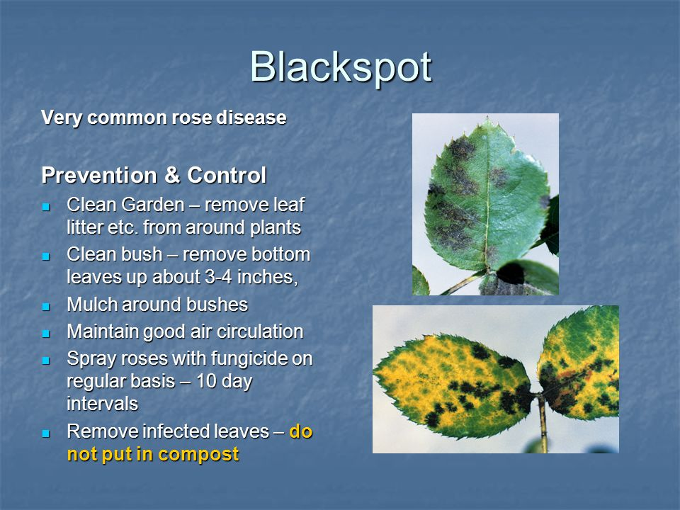Blackspot Very common rose disease Prevention & Control Clean Garden – remove leaf litter etc. from around plants Clean Garden – remove leaf litter et