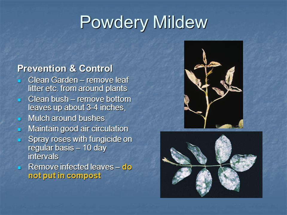 Powdery Mildew Prevention & Control Clean Garden – remove leaf litter etc. from around plants Clean Garden – remove leaf litter etc. from around plant