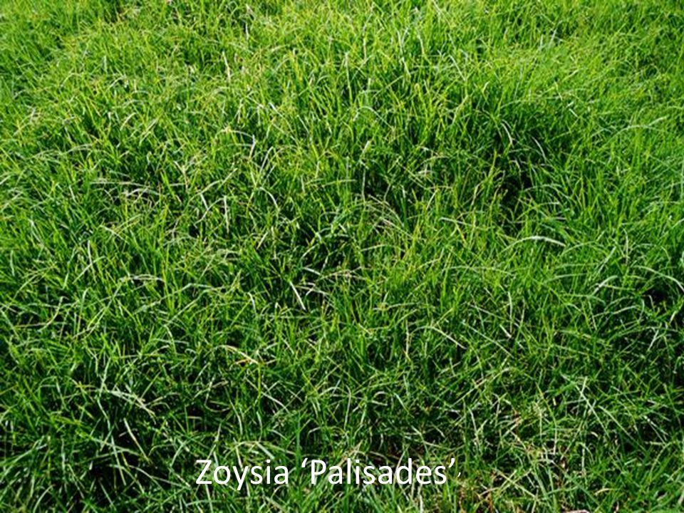 Zoysia 'Palisades' '