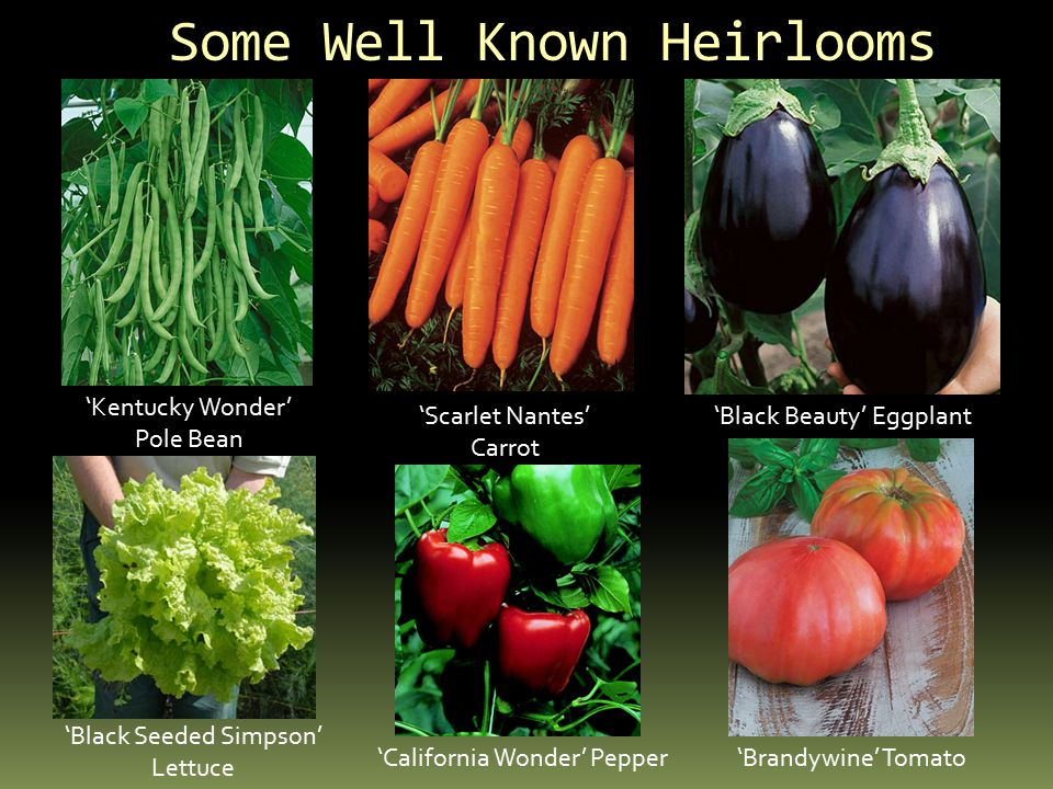 Some Well Known Heirlooms 'Kentucky Wonder' Pole Bean 'Scarlet Nantes' Carrot 'Black Beauty' Eggplant 'Black Seeded Simpson' Lettuce 'California Wonde