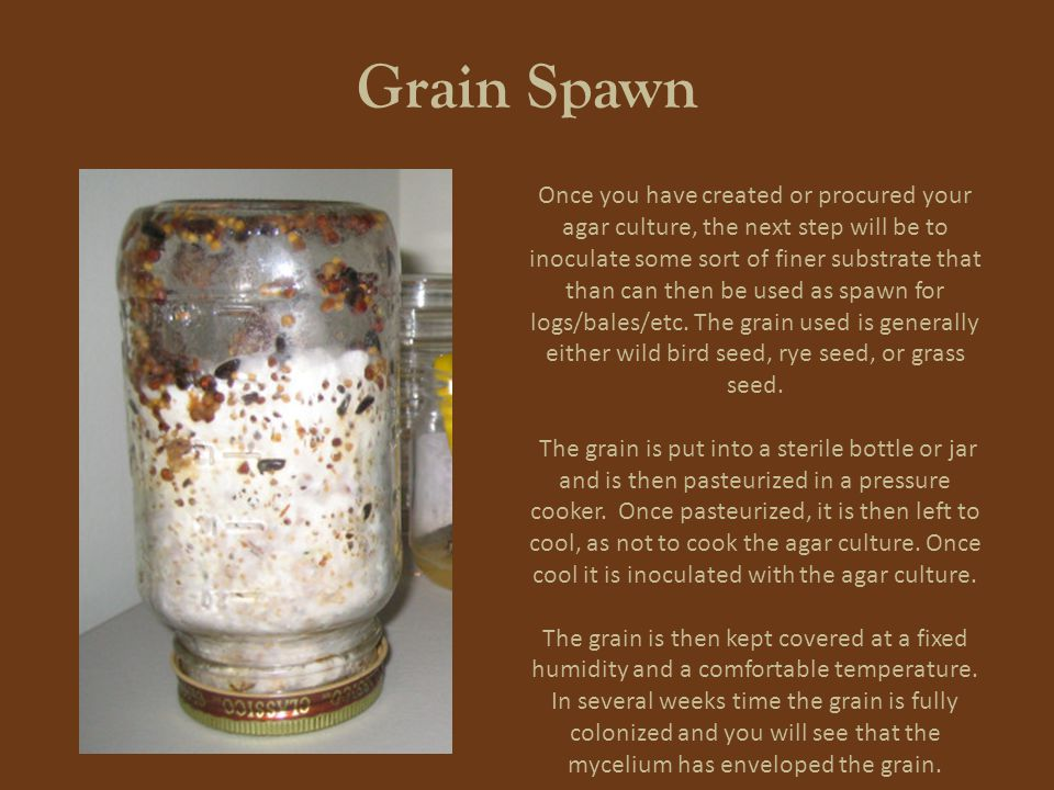 Grain Spawn Once you have created or procured your agar culture, the next step will be to inoculate some sort of finer substrate that than can then be used as spawn for logs/bales/etc.