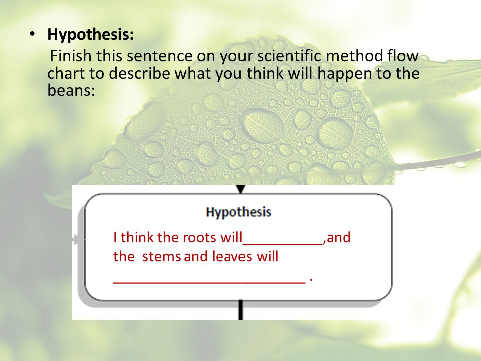 Hypothesis: Finish this sentence on your scientific method flow chart to describe what you think will happen to the beans: I think the roots will_____