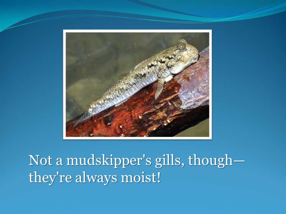 Not a mudskipper s gills, though— they re always moist!