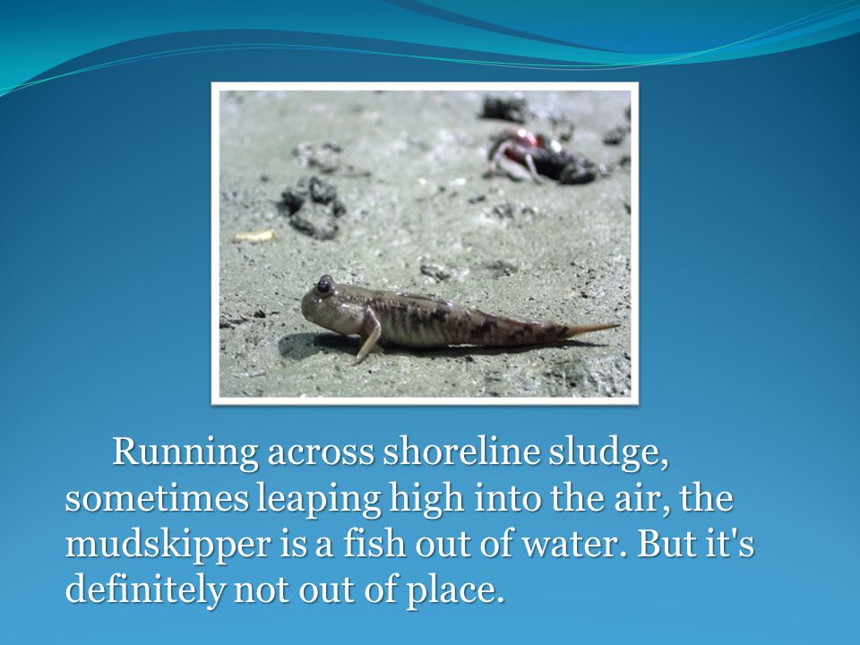 Running across shoreline sludge, sometimes leaping high into the air, the mudskipper is a fish out of water.