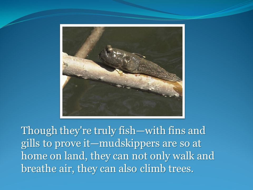 Though they re truly fish—with fins and gills to prove it—mudskippers are so at home on land, they can not only walk and breathe air, they can also climb trees.