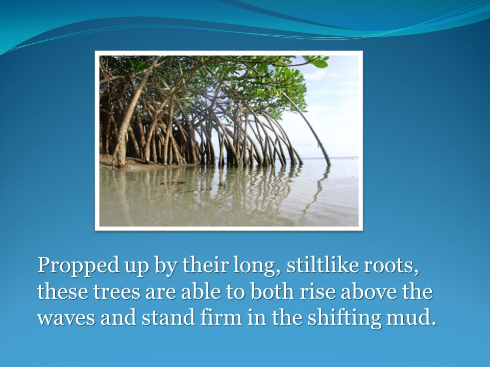 Propped up by their long, stiltlike roots, these trees are able to both rise above the waves and stand firm in the shifting mud.