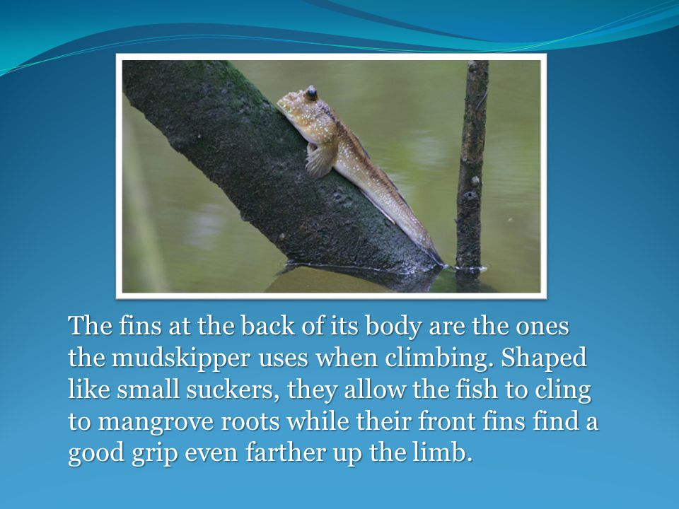 The fins at the back of its body are the ones the mudskipper uses when climbing.