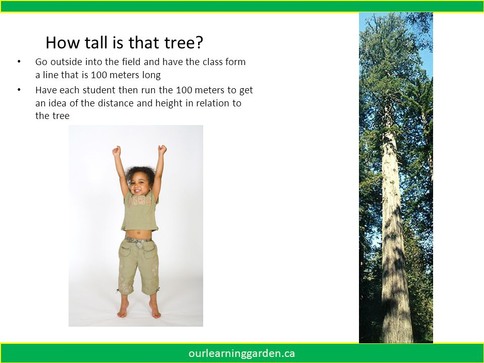 ourlearninggarden.ca Go outside into the field and have the class form a line that is 100 meters long Have each student then run the 100 meters to get an idea of the distance and height in relation to the tree How tall is that tree?