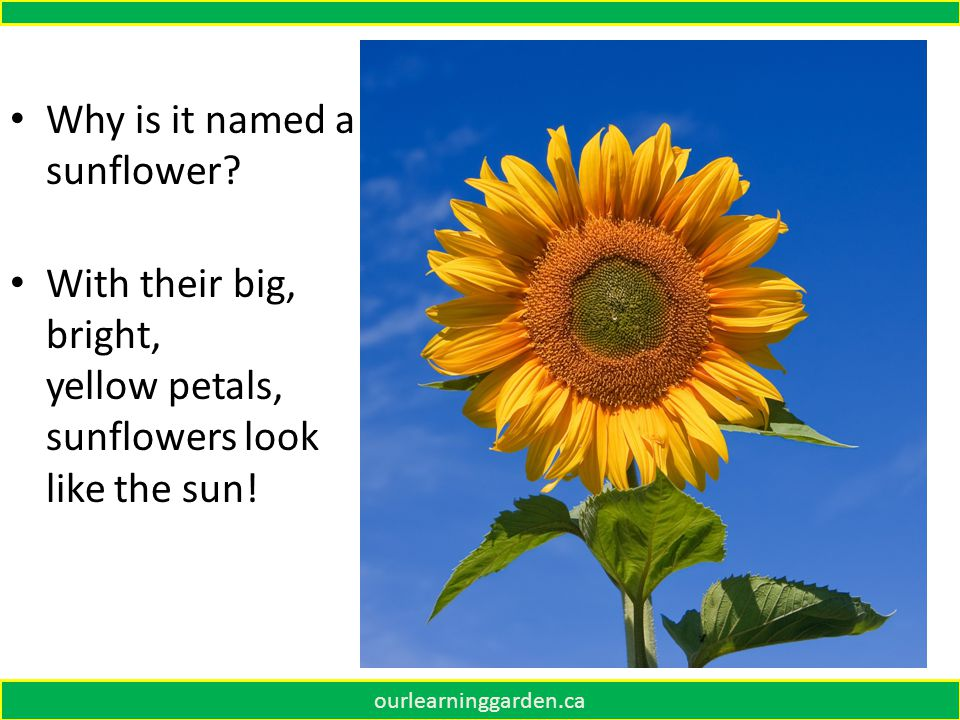 Why is it named a sunflower.With their big, bright, yellow petals, sunflowers look like the sun.