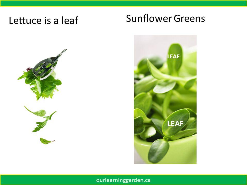 Lettuce is a leaf Sunflower Greens LEAF