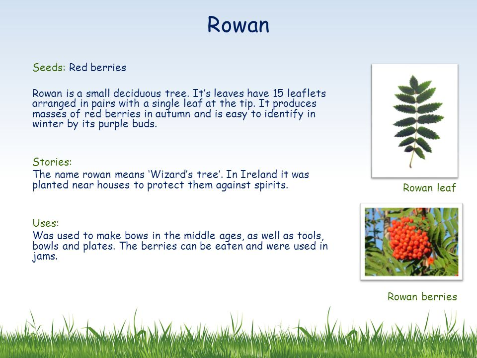 Seeds: Red berries Rowan is a small deciduous tree.