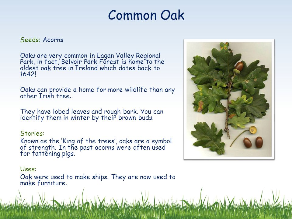 Seeds: Acorns Oaks are very common in Lagan Valley Regional Park, in fact, Belvoir Park Forest is home to the oldest oak tree in Ireland which dates back to 1642.