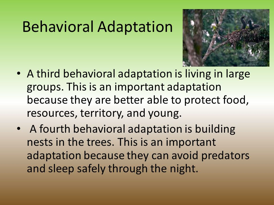 Behavioral Adaptations One behavioral adaptation of the chimpanzee is how they groom each other.