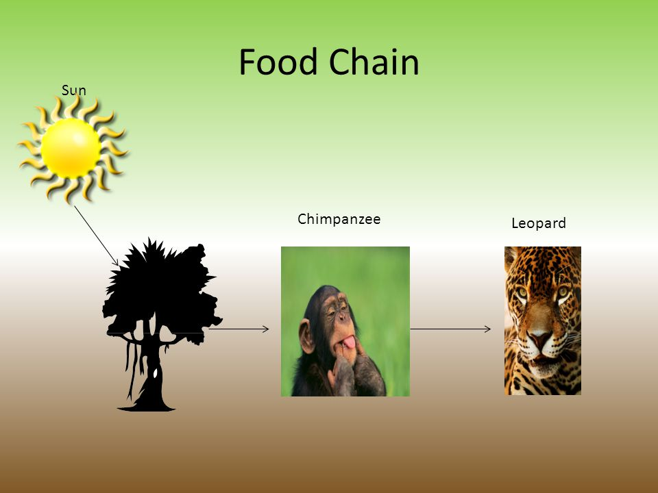 Diet The chimpanzee is an omnivore and typically eats figs, nuts, seeds, and bark.