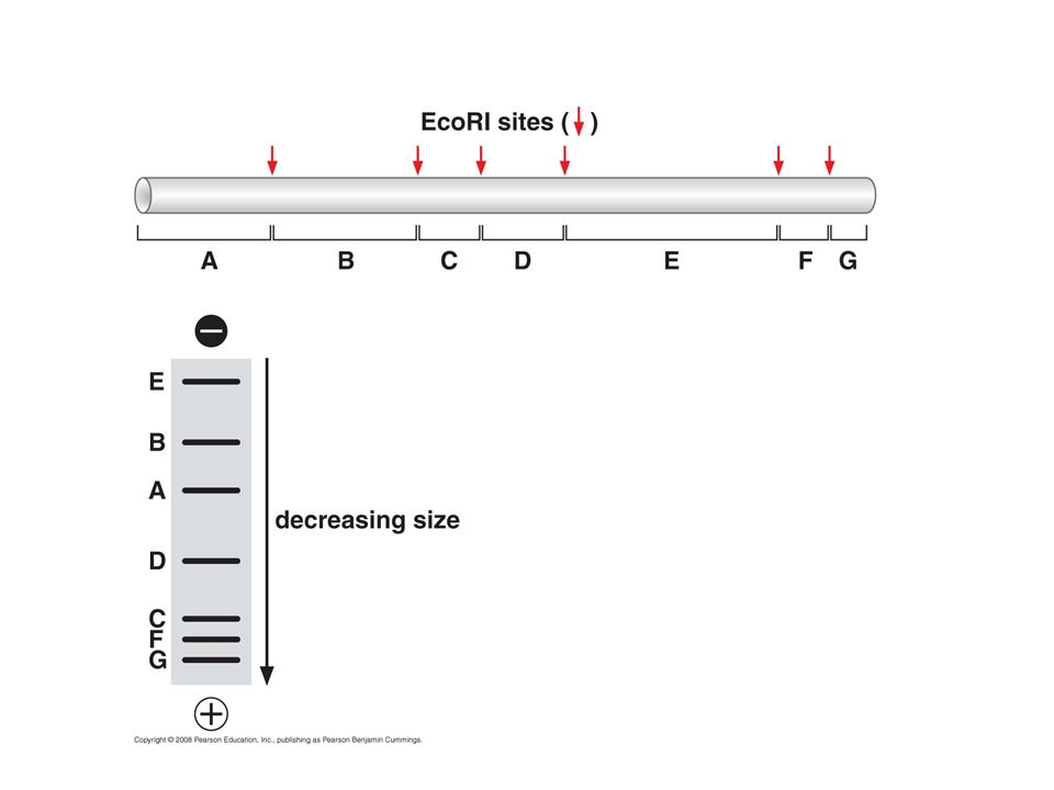 Bacterial artificial chromosomes (BACs)