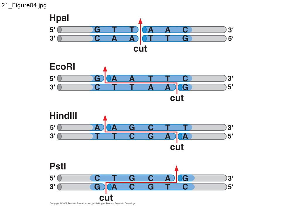 Gene can be selectively amplified by PCR
