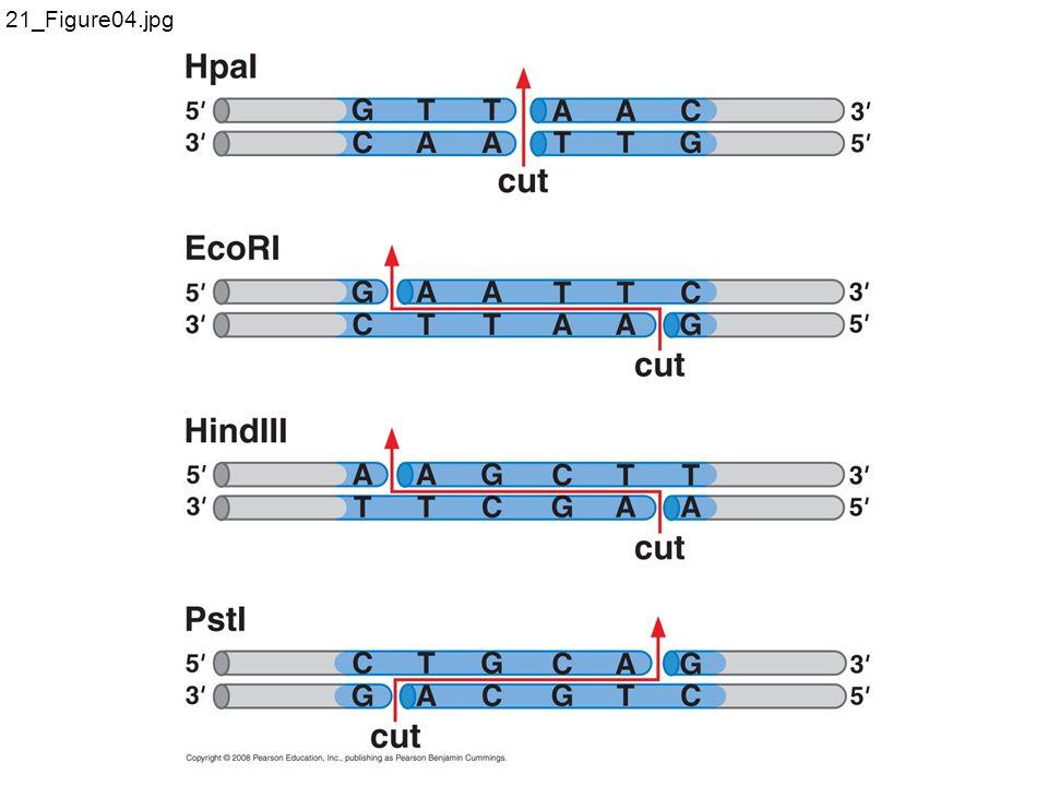 Cloning vectors allow amplification of inserted DNA segments E coli plasmid pBR 322 1.Origin of replication 2.Antibiotic resistance genes 3.Unique restriction sites 4.Small size