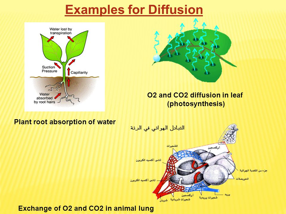 O2 and CO2 diffusion in leaf (photosynthesis) Plant root absorption of water Exchange of O2 and CO2 in animal lung Examples for Diffusion